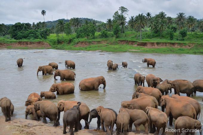 Sehenswürdigkeiten in Colombo: Pinnawala Elefanten-Waisenhaus