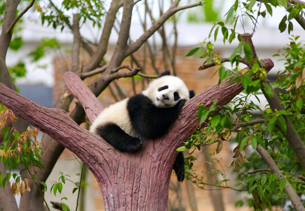 Die besten Attraktionen in China: Großer Panda in Sichuan