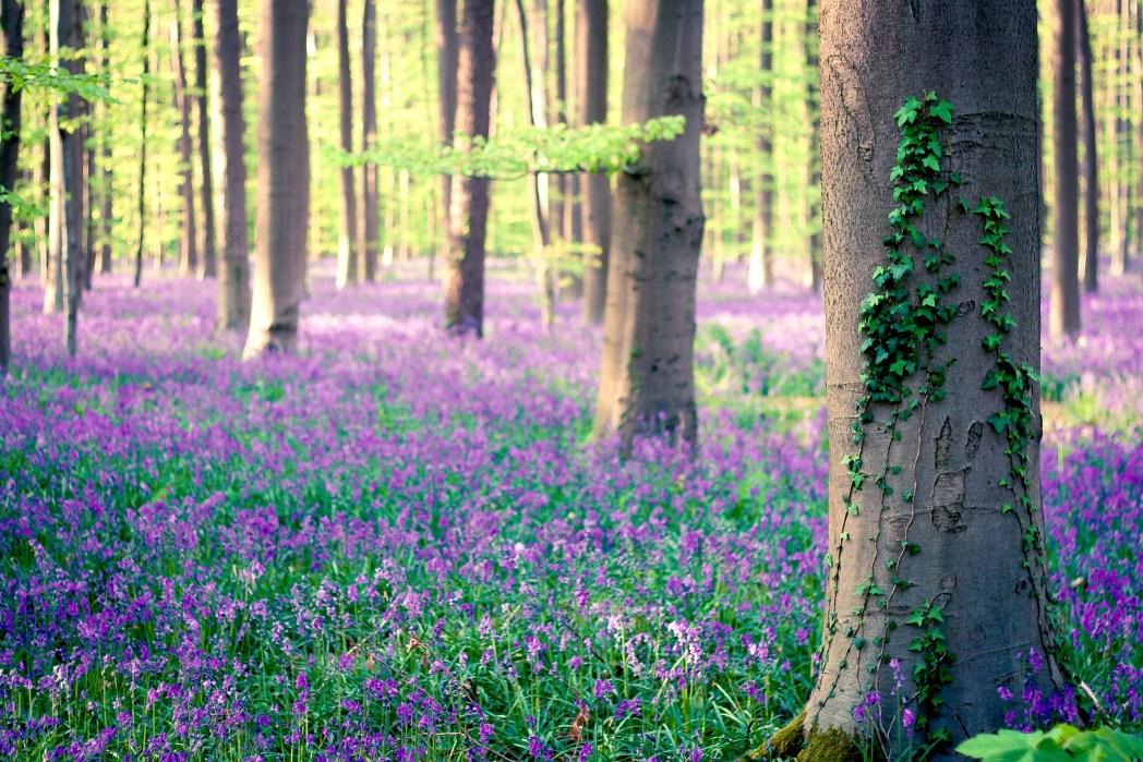 Urlaub im Frühling: Hallerbos, Belgien