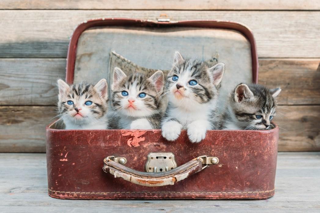 Katzen im Koffer