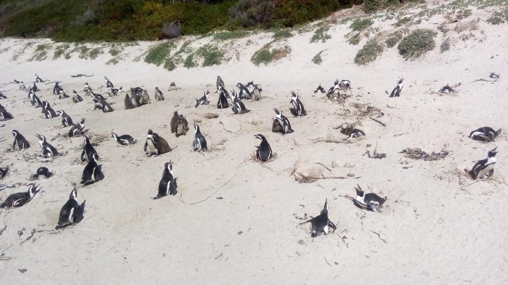 Afrikanische Pinguine Boulders Beach